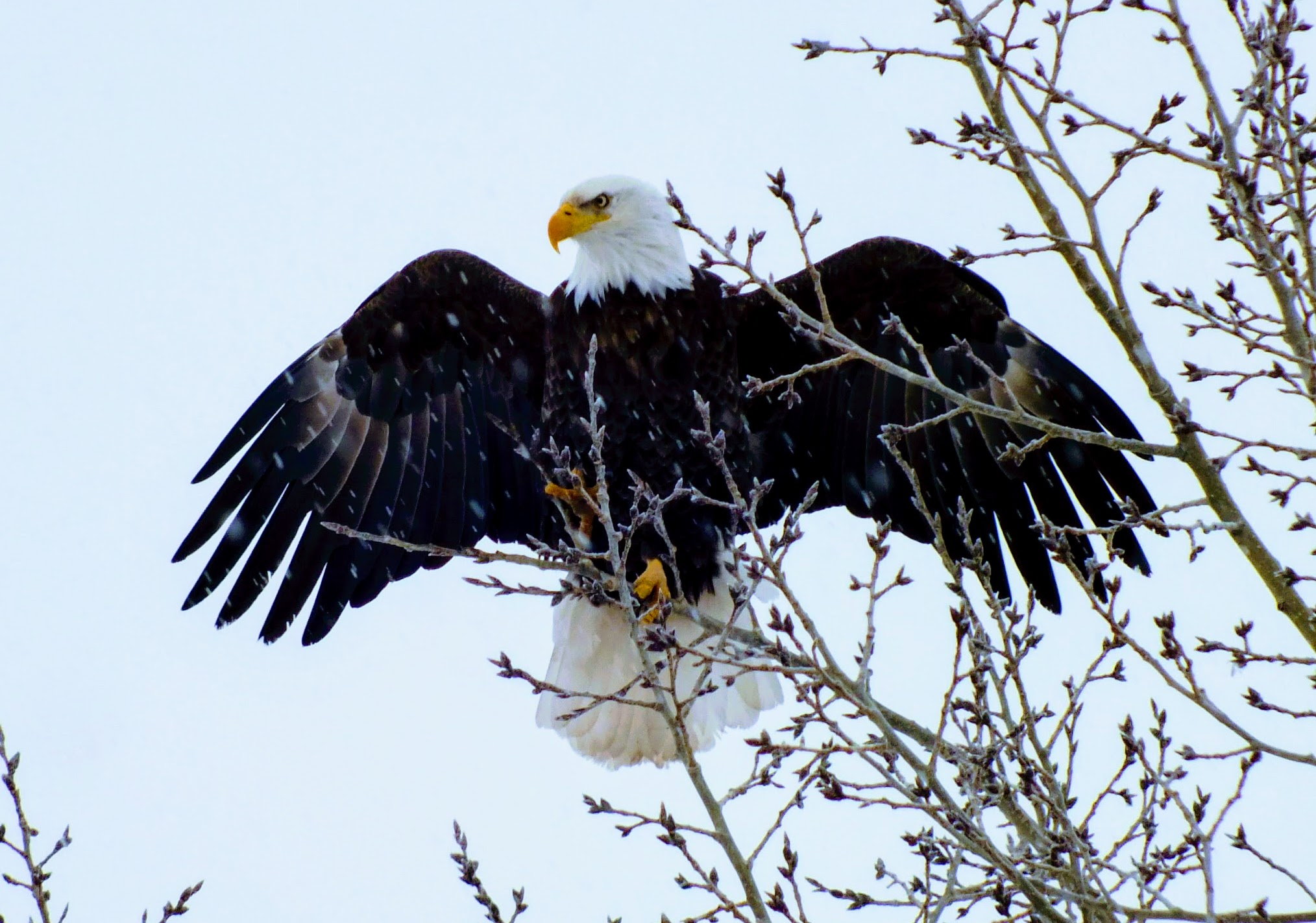 Eagle with spread wings